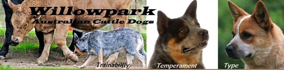 Willowpark Australian Cattle Dogs