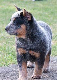 Willowpark Australian Cattle Dogs